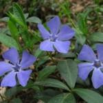 барвинок ядовитое растение