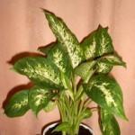 Диффенбахия содержит ядовитый млечный сок в стеблях и листьяхядовитое комнатное растение