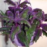 декоративное комнатное растение гинура с фиолетовыми листьями также ядовито