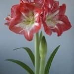 кравивоцветущее комнатное растение гипераструм обладает ядовитыми луковицами