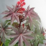 декоративное быстрорастущее растение, все части которого содержат ядовитые алкалоиды