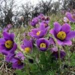 ядовитое растение -первоцвет