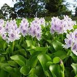 водный гиацинт - плавающее растение