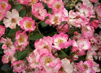 Кустовая роза Балерна