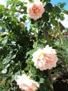 кустовая роза -шраб
