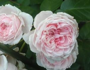 Сорт комнатной розы Синдерелла