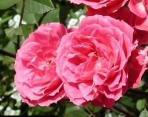 Сорт клмнатной розы Джуди Фишер