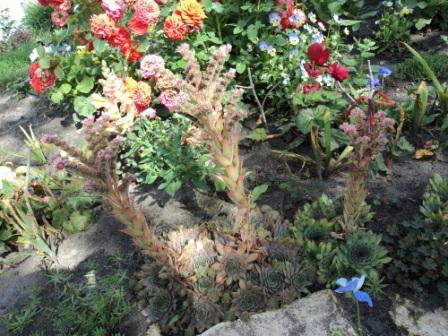 почвопокровное растение для альпийской горки