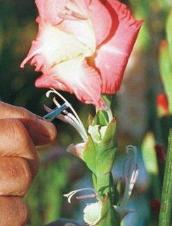 искусственное опыление гладиолуса