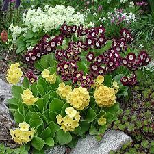 многолетнее цветущее растение подходит для высадки в альпинарий