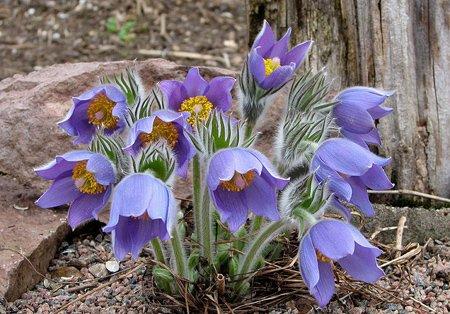 многолетнее весенее растение для альпийской горки