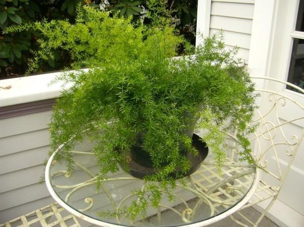 декоративное ампельное растение для дома