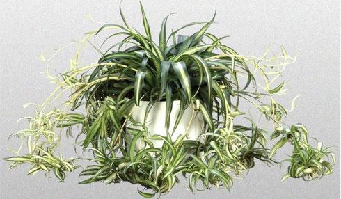 неприхотливое ампельное растение