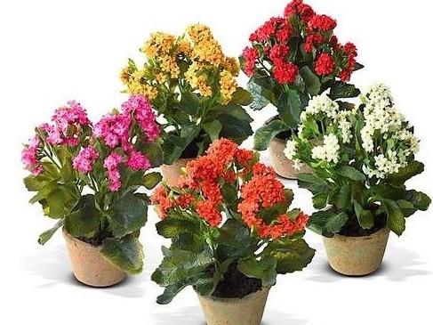 каланхое цветущий может и не такой полезный, но умиляет своим цветением