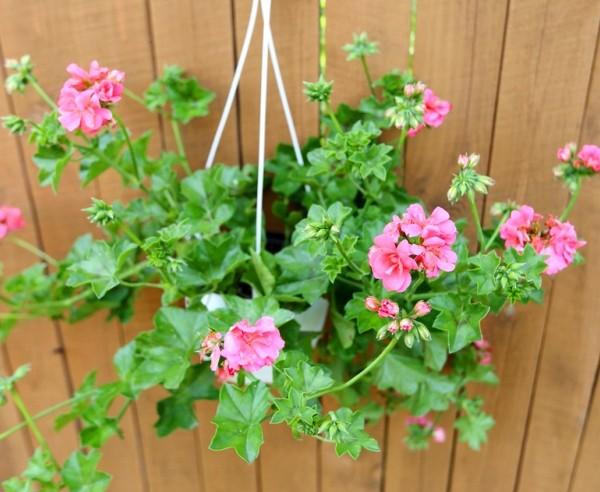 цветущее растение для дома ампельная пеларгония