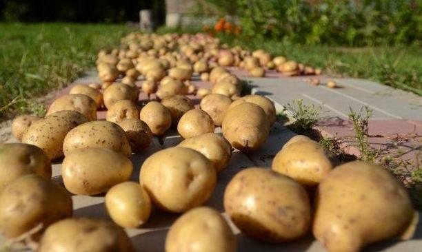 хранение картофеля в правильных условиях