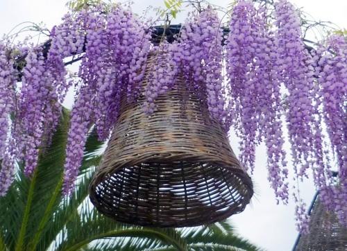 Удивительно красивое растение глициния китайская