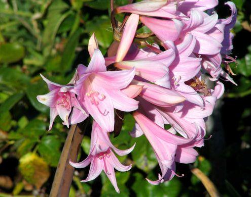 беладонна она же красавка смертельно ядовитое растение