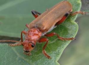 жук мягкотелка помгает бороться с вредителями