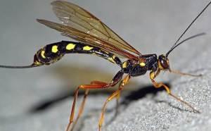 наездник паразитируетна других насекомых