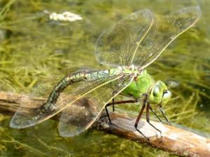 Сьрекозы уничтожают комаров водных червей