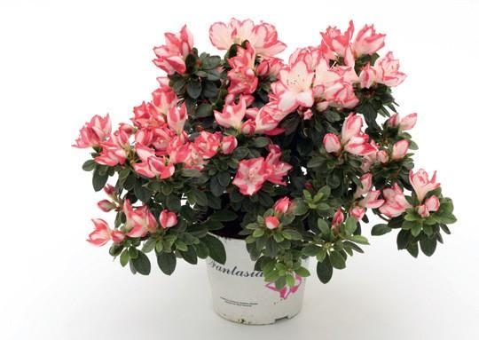Цветок азалии с двойной окраской