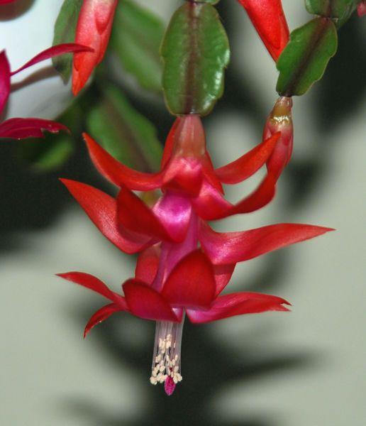 зигокактус русселиана обладет краисвейшей формы цветками