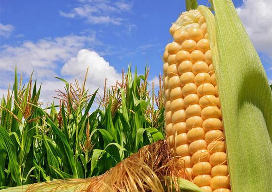 гибриды кукурузы дают возможность ее выращивания на зерно и на силос