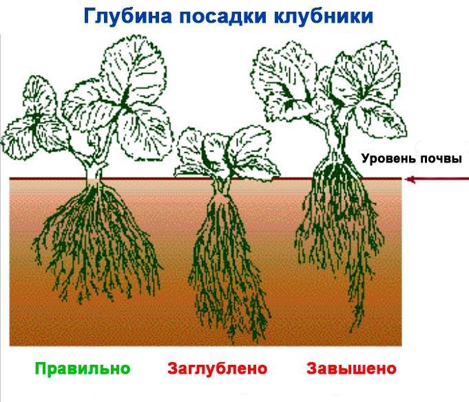 определение глубины посадки клубники
