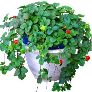 Лианоподобное растение индийская лапчатка или дюшенея для украшения сада и дома