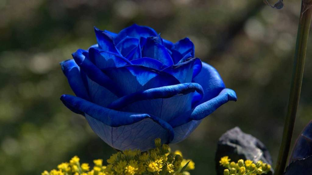nature___flowers_blue_rose_at_sunrise_056177_