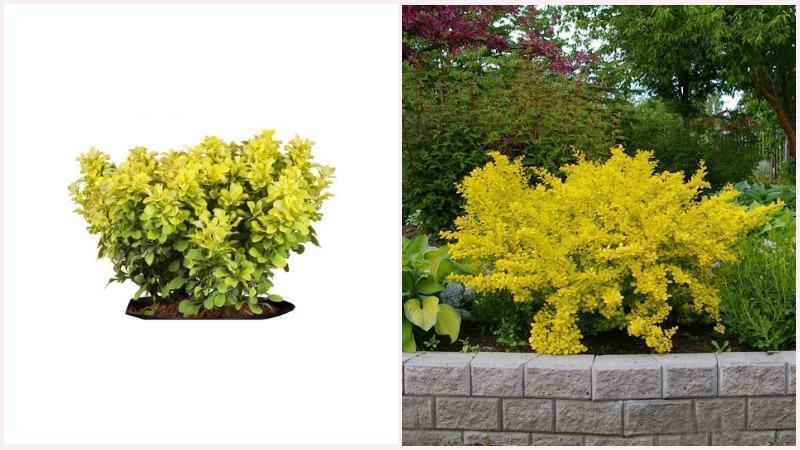 Кустарник барбариса цветет мелкими желтыми цветочками