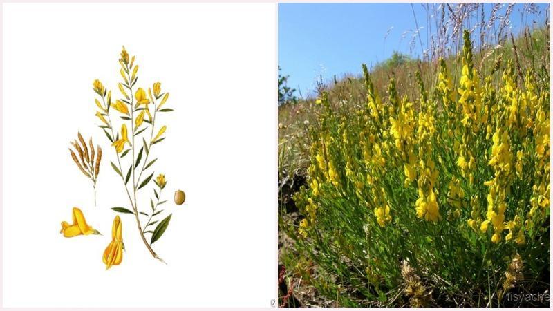 Дрок имеет мелкие желтые цветочки на коротких цветоножках