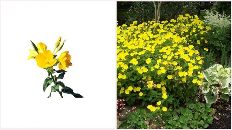 Энотера используется как лекарственное растение и имеет  в своем составе целебные органические вещества