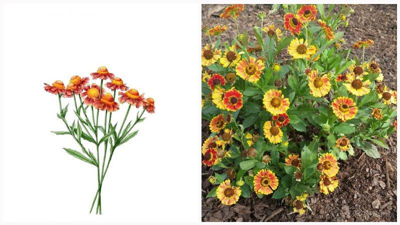 Осенний гелениум достаточно неприхотливое растение