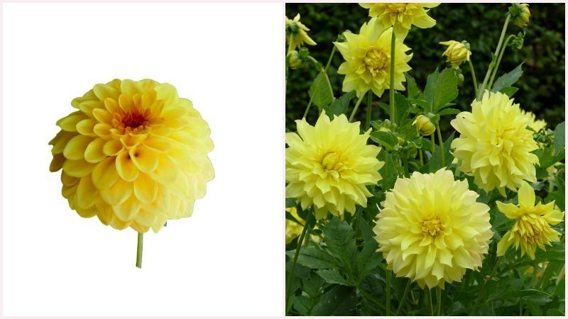 Ярко-желтая помпонная георгина обладает продолжительным цветением