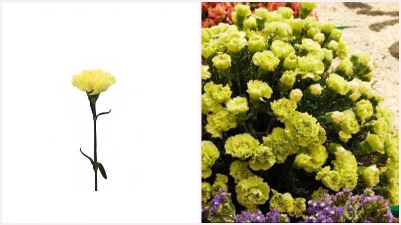 Гвоздика - светолюбивое растение, которое высаживают в воздухопроницаемую почву