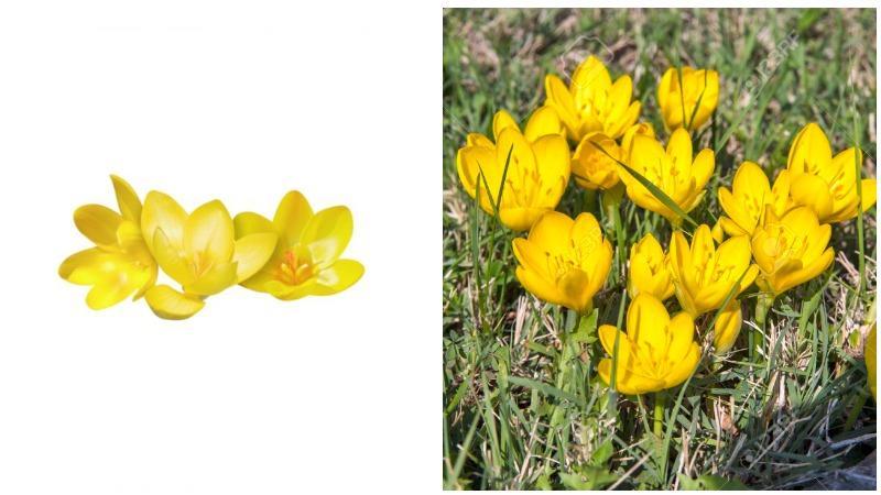 Морозоустойчивый колхиум имеет крупные обоеполые цветы