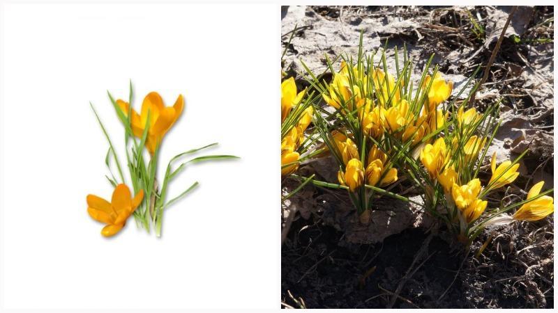 Первоцветы крокусы являются низкорослыми растениями