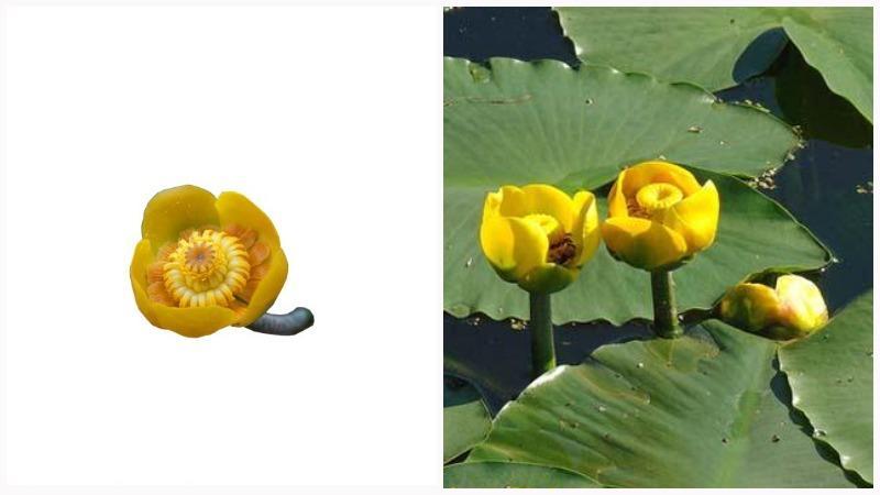 Цветок кувшинки закрывается на ночь и уходит под воду