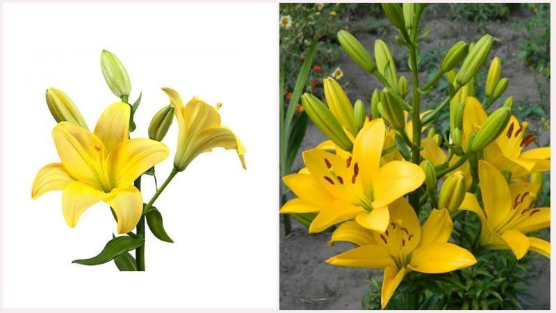 Существует множество гибридных форм лилий, в том числе красно-желтые и бело-желтые