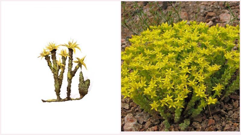Многолетнее травянистое растение очиток образует дерновинки и моховидные подушки