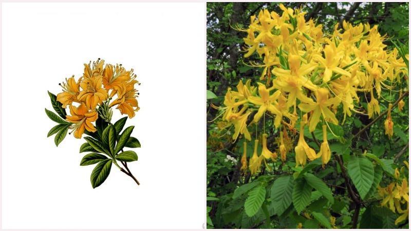 Корневая система золотистого рододендрона состоит из многочисленных мочковатых корней
