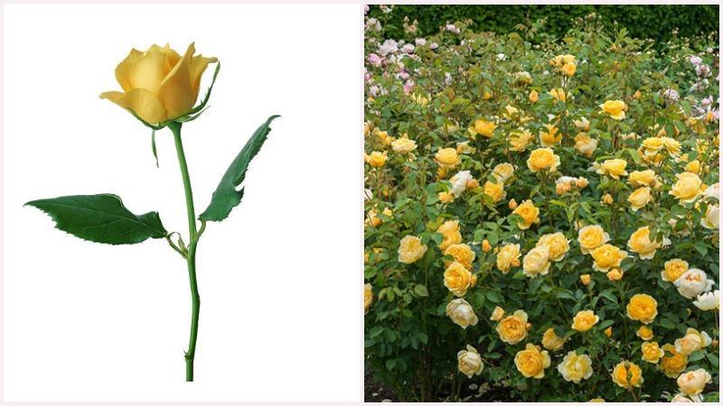 Чаще всего розы теплолюбивы и не любят затенения.