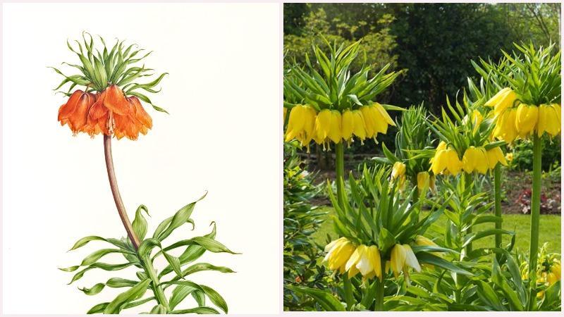 Луковичное растение рябчик цветет крупным повислым цветком на длинном стебле