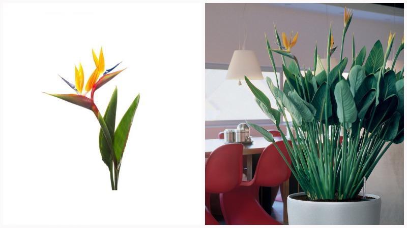 Экзотическая стрелиция цветет крупными цветами до 15 см в диаметре