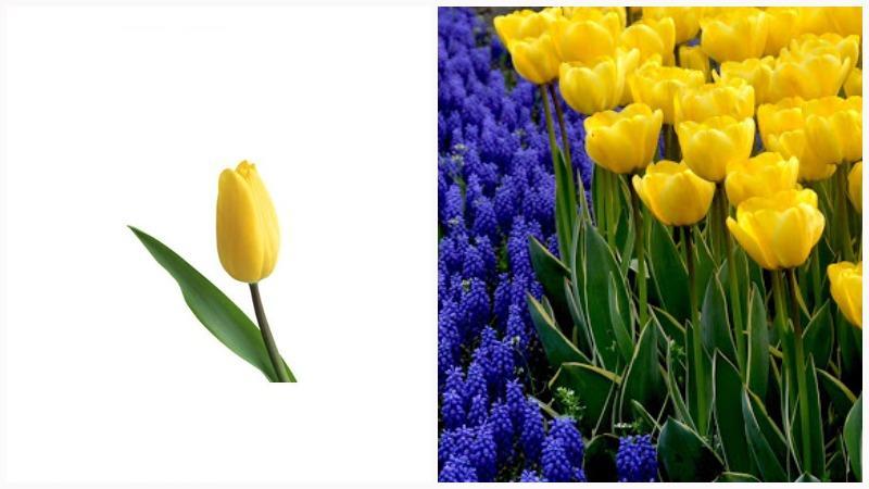 Луковицы тюльпана состоят из донца, стебля и окружающих чешуй