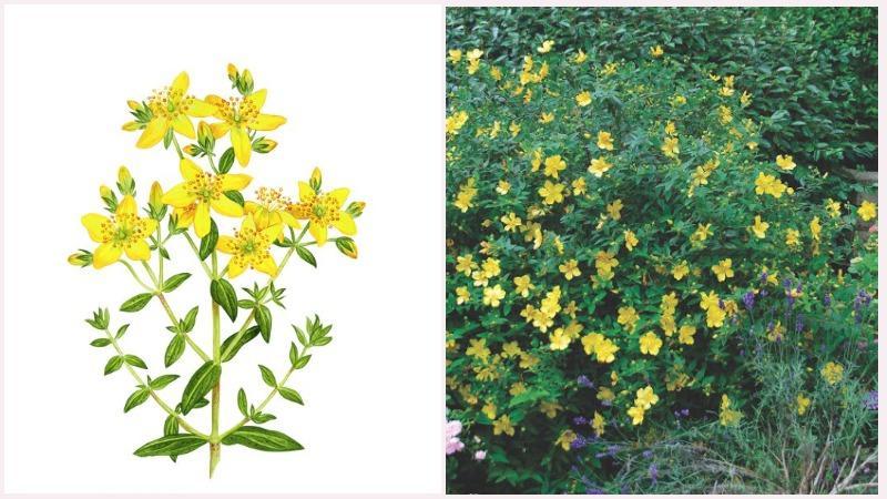 Цветки зверобоя в виде полузонтиков собраны в метельчатые или щитовидные соцветия
